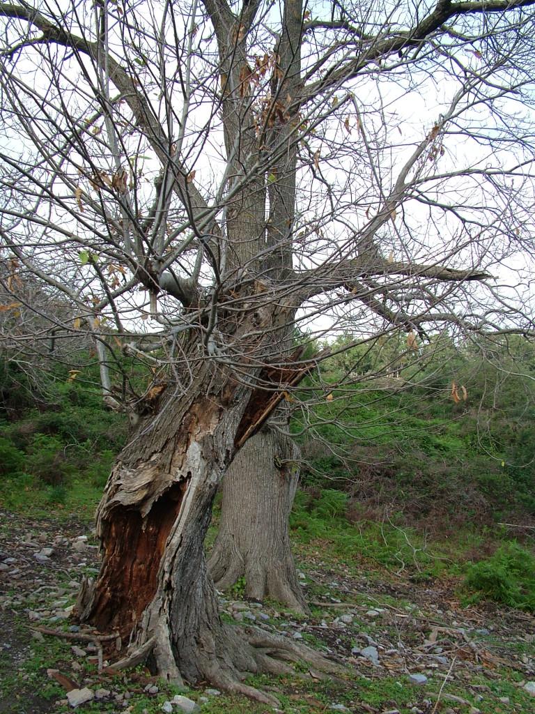 Castaño centenario ceutí que resiste el paso de los siglos