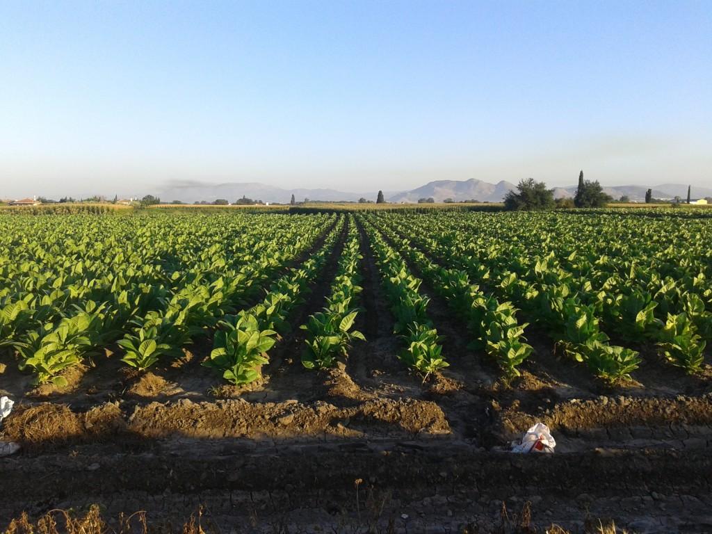 Plantación de tabaco en la Vega de Granada