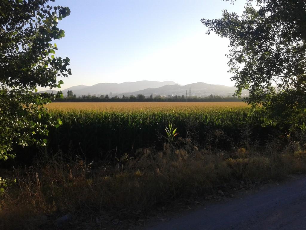 Cultivo de maíz en la Vega de Granada