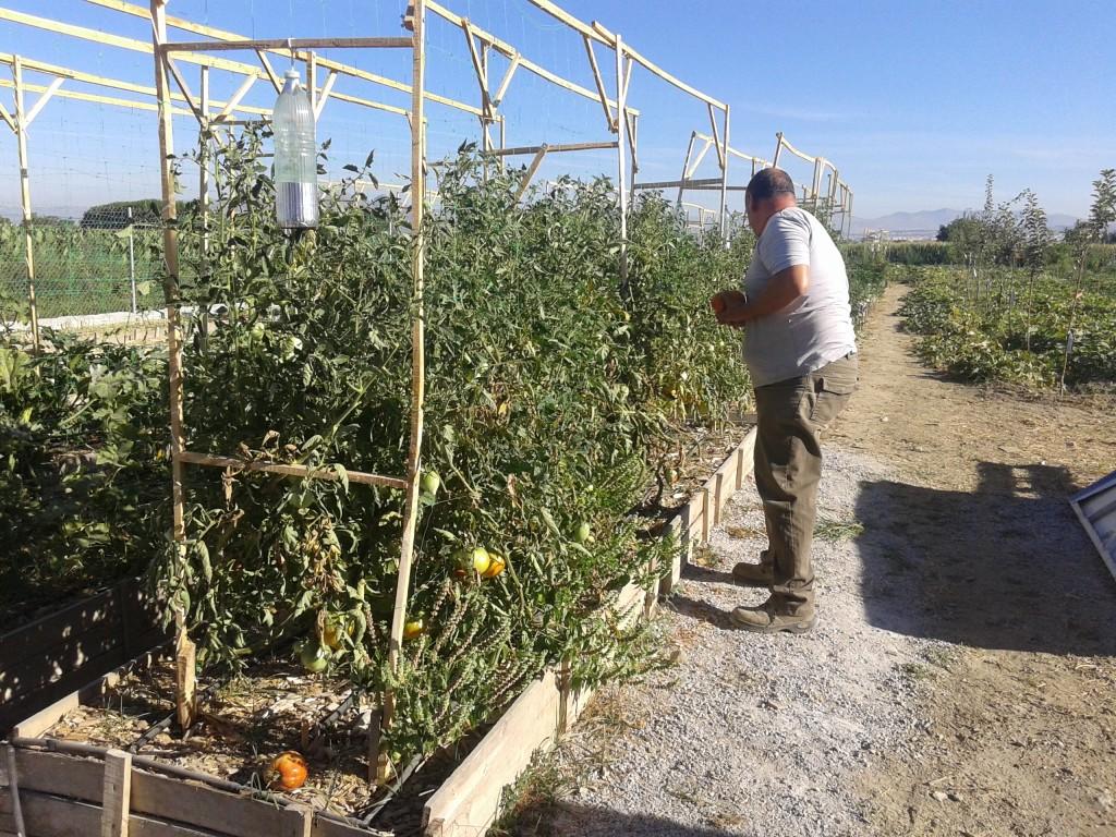 Gui cuidando sus tomates