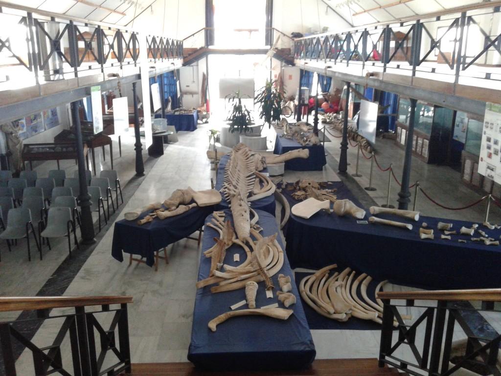 Ejemplar de Rorcual expuesto en el Museo del Mar de Ceuta