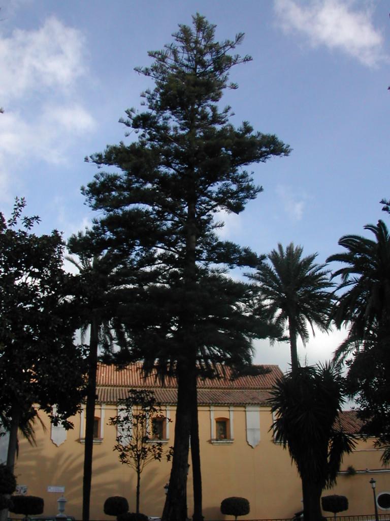 Auricaria Plaza de África