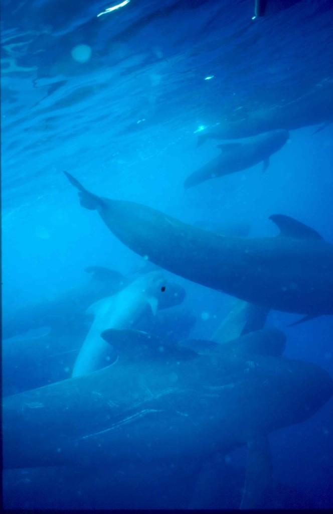 Grupo de cetáceos en las costas de Ceuta