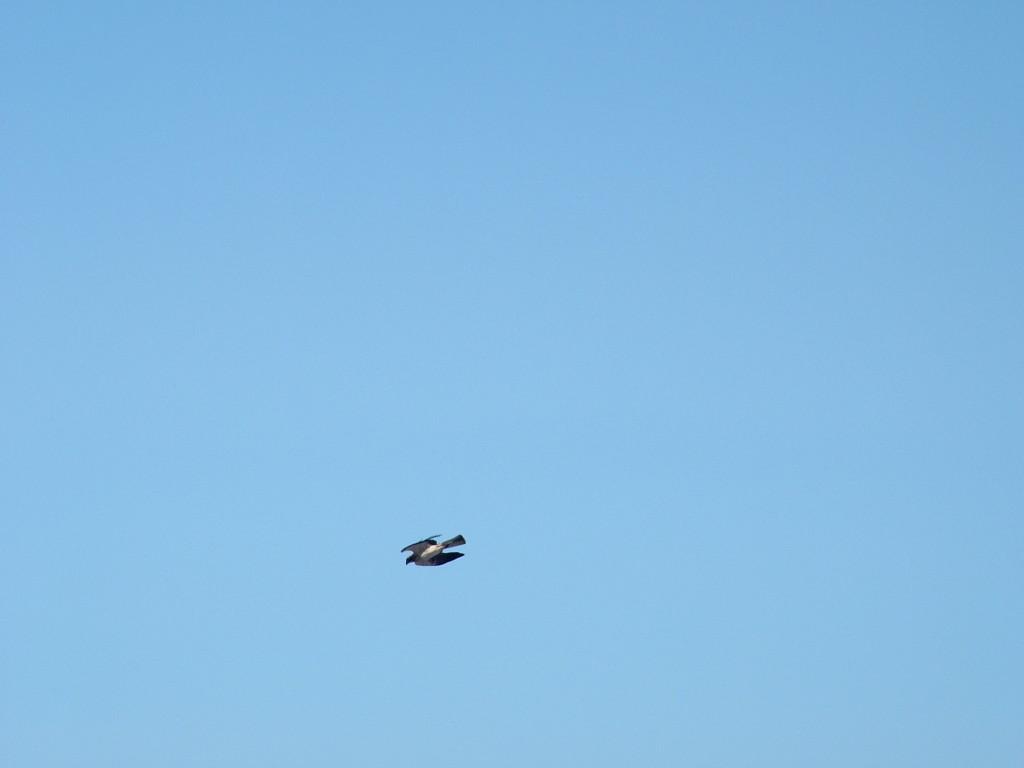 Águila calzada en pleno vuelo