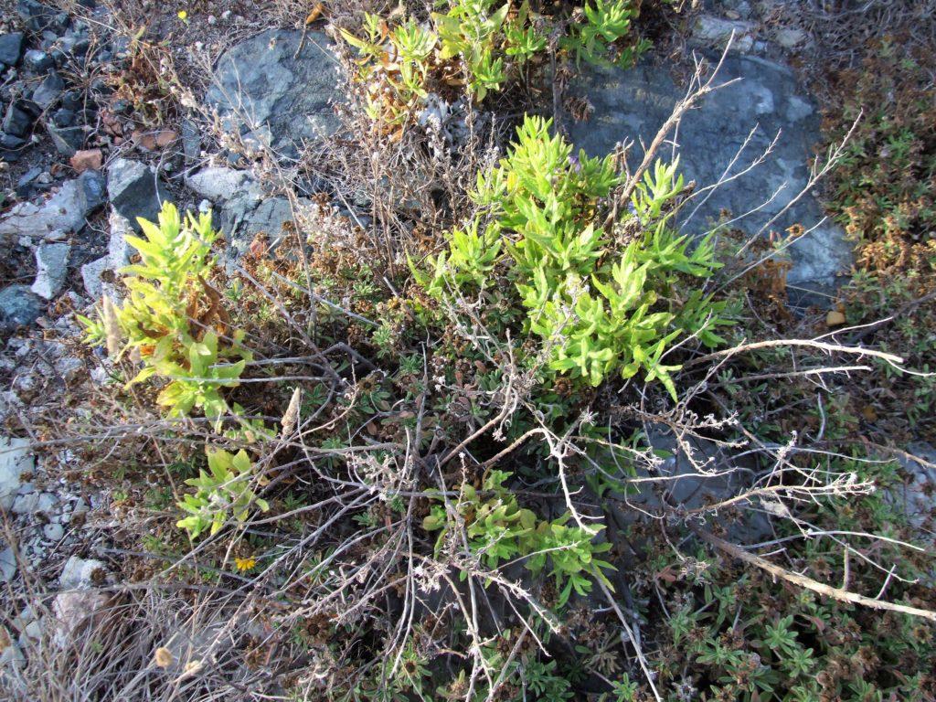 Altabaca (Dittrichia viscosa)