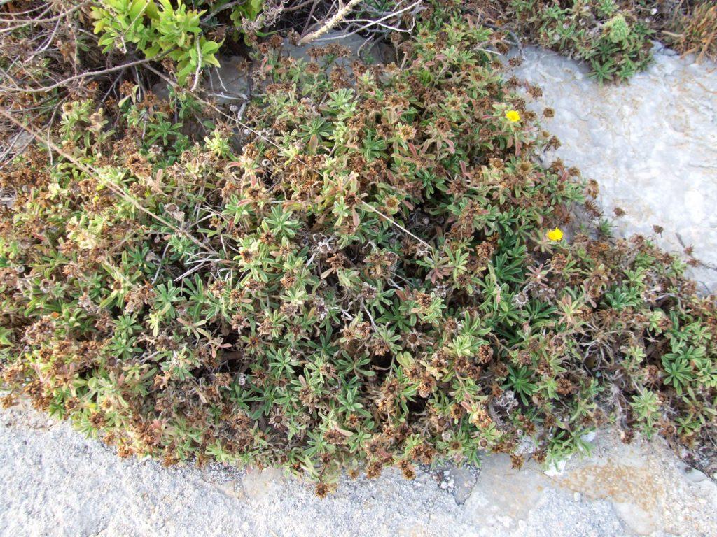 Asterico (Asteriscus maritimus)