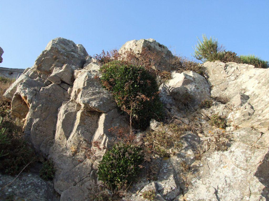 Siempreviva del Estrecho (Limonium emarginatum)