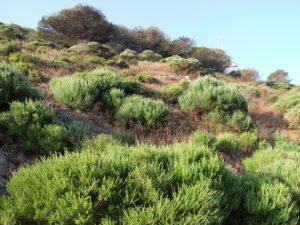 Escoba o retama fina (Genista linifolia)