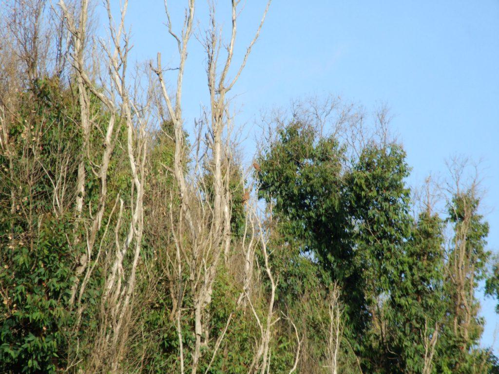 Pareja de cernícalos (Falco tinnunculus)