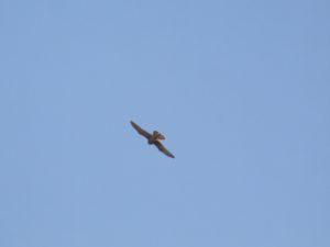 Cernícalo común (Falco  tinnunculus)