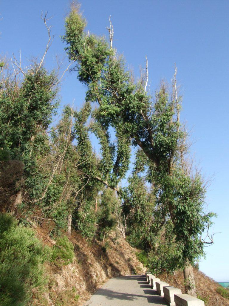 Eucaliptos (Eucalyptus)