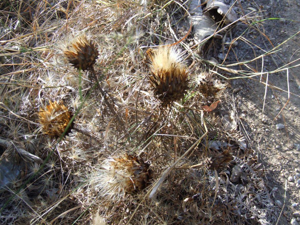 Cardo borriquero (Cynara humilis)