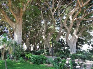 Laureles de India (Ficus microcarpa) de los jardines de la República Argentina