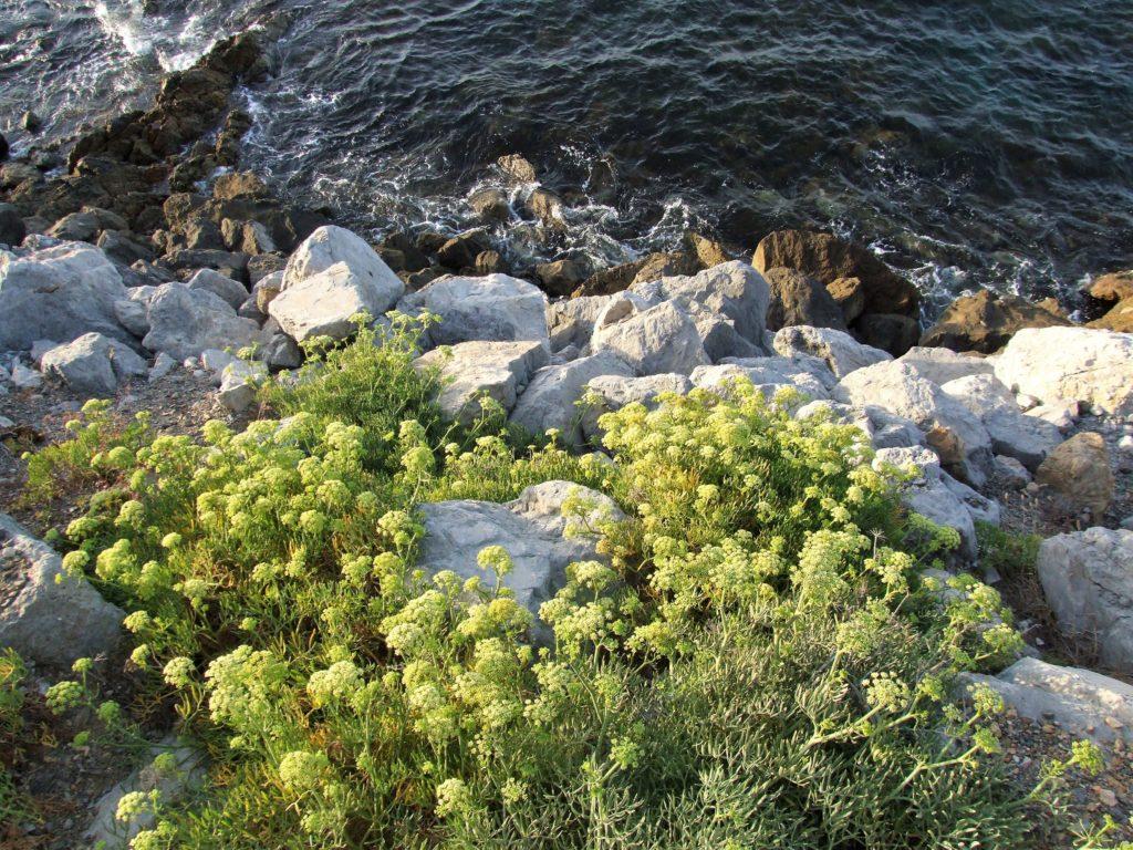 Hinojo marino (Crithmum maritimum)